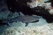 Caribbean reef shark, Carcharhinus perezi, sleeping under a ledge on the coral reef, Walker's Cay, Abaco Islands, Bahamas ( Western Atlantic Ocean )