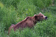 Bear 634 Popeye lays in the grass while following the scent markers of a female brown bear, June 2017.