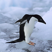 Adelie Penguin jumping into icy waters off the Antarctic Peninsula.
