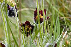 Rood wildemanskruid, Pulsatilla rubra