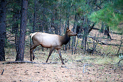 OCT 6, 2016: A female elk comes out from the woods following a brief rain shower in Grand Canyon,  Arizona, Richey Miller/CSM(Credit Image: © Richey Miller/Cal Sport Media)