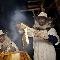 """Wubalem and her husband Tsega, use smoke to sedate bees during the harvesting of honey from one of their modern hives in Mecha village. <br /> <br /> Wubalem Shiferaw, age 23, lives in the village of Mecha with her husband Tsega Bekele, age 33, and their daughter Rekebki, age 4. Wubalem remembers her grandparents harvesting honey. She has maintained this tradition while moving to modern hives which produce a far greater yield of honey. Wubalem is a member of the Mecha village Cooperative which brings together local women beekeepers allowing them to share insights and build a credit union. The Mecha village Cooperative is not yet a member of the Zembaba Union. Wubalem's husband Tsega is a priest and a tailor. <br /> <br /> Harvesting honey supplements the income of small farmers in the Ethiopian region of Amhara where there is a long tradition of honey production. However, without the resources to properly invest in production and the continued use of of traditional, low-yielding hives, farmers have not been able to reap proper reward for their labour. <br /> <br /> The formation of the Zembaba Bee Products Development and Marketing Cooperative Union is an attempt to realize the potential of honey production in Amhara and ensure that the benefits reach small producers. <br /> <br /> By providing modern, high-yield hives, protective equipment and training to beekeepers, the Cooperative Union helps increase production and secure a steady supply of honey for which there is growing demand both in and beyond Ethiopia. The collective processing, marketing and distribution of Zembaba's """"Amar"""" honey means that profits stay within the cooperative network of 3,500 beekeepers rather than being passed onto brokers and agents. The Union has signed an agreement with the multinational Ambrosia group to supply honey to the export market. <br /> <br /> Zembaba Bee Products Development and Marketing Cooperative Union also provides credit to individual members and trains carpenters in """