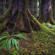 Hoh Rainforest on the Olympic Peninsula, Washington