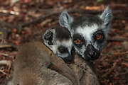Ring-tailed lemur & baby  (Lemur catta) Beza mahafaly Special Reserve. South-western MADAGASCAR <br /> THIS GENUS CONTAINS A SINGLE SPECIES<br /> Males and females look alike. Medium sized lemurs, length of 950-1,100mm and weight: 2.3-3.5kg's. They have long alternate black and white ringed tails and adopt a horizontal body posture generally moving quadrupedally on the ground. Ring-tailed lemurs are diurnal and are the most terrestrial of all Malagasy primates. This species has been studied since the 1960's and more information has been gathered on it than any other Malagasy primate. Their diet is very varied and consists of fruit, leaves, flowers, bark, sap and occasionally invertebrates. They also occur in larger groups than any other Malagasy primate - from 3 to around 25. There is a well-defined and maintained heirachy within the troop and females are dominant with the alpha female forming the focal point for the group. Males also have their own heirachy. Scent marking is important for demarking their territory. Young are born in August and September. Only 30% reach adulthood.<br /> HABITAT & DISTRIBUTION: Spiny forest, dry scrub, deciduous forest and gallery forest are used throughout the majority of its range. At Andringitra Massif they are found on exposed rocks. They are found in south and south-western Madagascar from Tolagnaro in the se to just south of Morondava on the west coast. Generally found at lower elevations except in Andringitra Massif where it has been recorded above the treeline to altitudes in excess of 2,600 meters.<br /> THREATENED SPECIES: The two main habitat types preferred by Ring-tailed lemurs, dense Didieraceae/Euphorbiaceae bush and riverside gallery forest, are already restricted and known to be diminishing alarmingly as a result of fires, overgrazing and wood-harvesting for charcoal production. They are still hunted for food and trapped to be kept as pets.<br /> ENDEMIC TO MADAGASCAR
