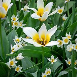 Tulipa 'Concerto' and Tulipa turkestanica AGM