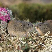 Brown lemming (Lemmus trimucronatus) pair in Barrow, Alaska.