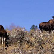 Moose, (Alces alces) Yearlings.Grand Teton National Park. Fall. Wyoming.