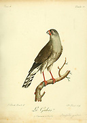 Autour gabar or gabar goshawk (Micronisus gabar) is a small species of African and Arabian bird of prey in the family Accipitridae.  Bird of Prey from the Book Histoire naturelle des oiseaux d'Afrique [Natural History of birds of Africa] by Le Vaillant, François, 1753-1824; Publish in Paris by Chez J.J. Fuchs, libraire .1799