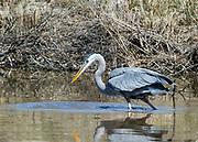 Blue Heron hunting at the Blackwater Wildlife Refuge