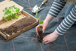 Planting out sweet potato plug plants - Ipomoea batatas. Cutting slits and planting through Mypex membrane