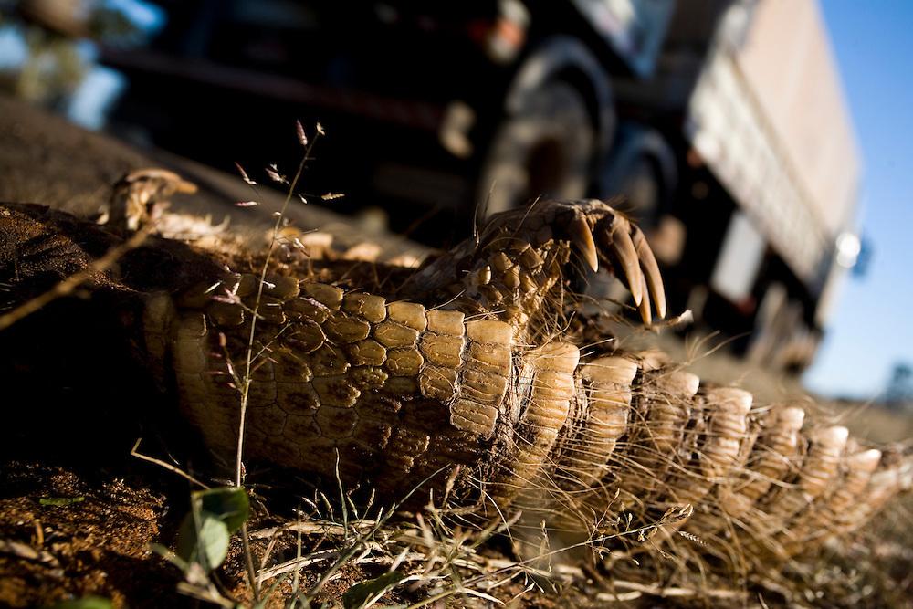 Santa Vitoria_MG, Brasil...Tatu morto na BR 365 em Santa Vitoria, Minas Gerais...A died armadillo on BR 365 in Santa Vitoria, Minas Gerais. ..Foto: LEO DRUMOND / NITRO