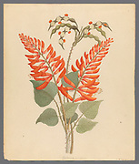 Erythrina, Nov. Specie [Erythrina humeana] (1817) commonly known as dwarf kaffirboom, dwarf coral tree, dwarf erythrina or Natal coral tree from a collection of ' Drawings of plants collected at Cape Town ' by Clemenz Heinrich, Wehdemann, 1762-1835 Collected and drawn in the Cape Colony, South Africa