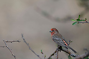 Photograph of a House Finch in Madera Canyon AZ