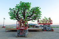 "Tree of Ténéré Build by: Alexander Green, Zachary Smith, and Patrick Deegan from: San Francisco, CA year: 2017<br /> <br /> An enormous lifelike tree, Ténéré offers shade to wanderers, adventure to climbers, and transcendent community to those gathered beneath its 15,000 LED leaves. Like its namesake – considered the most isolated tree on Earth until its destruction in 1973 – Ténéré serves as a place of refuge and ritual for desert wanderers. Standing more than three stories tall, it beckons to passersby with the promise of shade and adventure, conjuring spontaneous communities out of desert sand and sun. At night, LEDs hidden within each leaf begin to glow. The 15,000 leaves form a dome-shaped ""canvas of light"" that towers over the playa, spanning more than a thousand square feet. Participants lying under the tree experience sublime light shows set to ambient music or live performance. And they directly influence the canopy lights through their sounds and biorhythms, creating moments of transcendent oneness with each other and with nature. URL: https://www.treeoftenere.com Contact: contact.tenere@gmail.com"