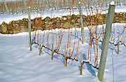 Disznoko vineyard: young vines under snow before pruning. Cordon Royat training. The Disznók? winery is owned by AXA Millesimes, a French insurance company. Disznoko means pig's head since a big rock in the vineyard supposedly looks like that. The new winery is impressive and a vast amount of money has been invested. Credit Per Karlsson BKWine.com