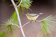 Common Chiffchaff, or simply the Chiffchaff, (Phylloscopus collybita) perched on a pine tree branch. Photographed in Israel in October