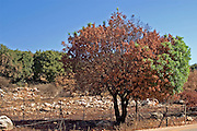 Israel, Galilee, half burnt tree Fire damages to the fields and forests in northern Israel. The fires were caused by the Katyusha rockets fired by Hezbollah during the second Lebanon war, August 2006,