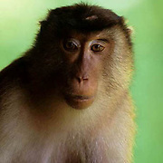 Pig-tailed Macaque, (Macaca nemestrina) Portrait of female in rain forest. Malaysia.