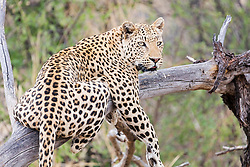 Leopard relaxing on tree at Okonjima Nature Reserve, Namibia, Africa