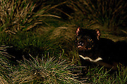 "Wild Tasmanian Devil photographed using handheld remote control trigger at Kingsrun, Geoff King's ""devil restaurant"" on his land near Arthur River, north west Tasmania. The devils are lured using a staked-out roadkill wallaby, under spotlights beside an old fishing hut on the beach. Tasmania's northwest is the only area not yet affected by Devil Facial Tumour Disease, which has caused a population crash elsewhere on the island.  ..The disease is a contagious cancer that scientists are only beginning to understand, but has spread rapidly through the population, leaving the devil listed as endangered. In December 2009, it was announced that the disease may be related a peripheral nerve cell, called the Schwann cell, which has led some hopes for preserving the devil, at least in terms of quarantine insurance populations."