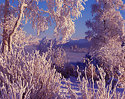 Rime-covered balsam poplars and willows framing skyline of Anchorage and Chugach Mountains on a winter day at Earthquake Park, Anchorage, Alaska.