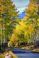 Turning of the aspen trees during the autumn season in Horseshoe Park.  Rocky Mountain National Park, Colorado.