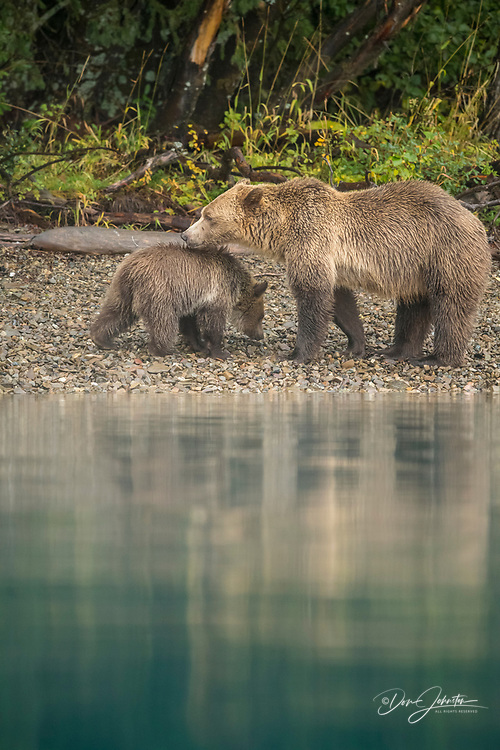 Grizzly bear (Ursus arctos)- Hunting spawning sockeye salmon along the Chilko River, Chilcotin Wilderness, BC Interior, Canada