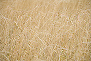 close up of ripe cultivated grass seed France Europe