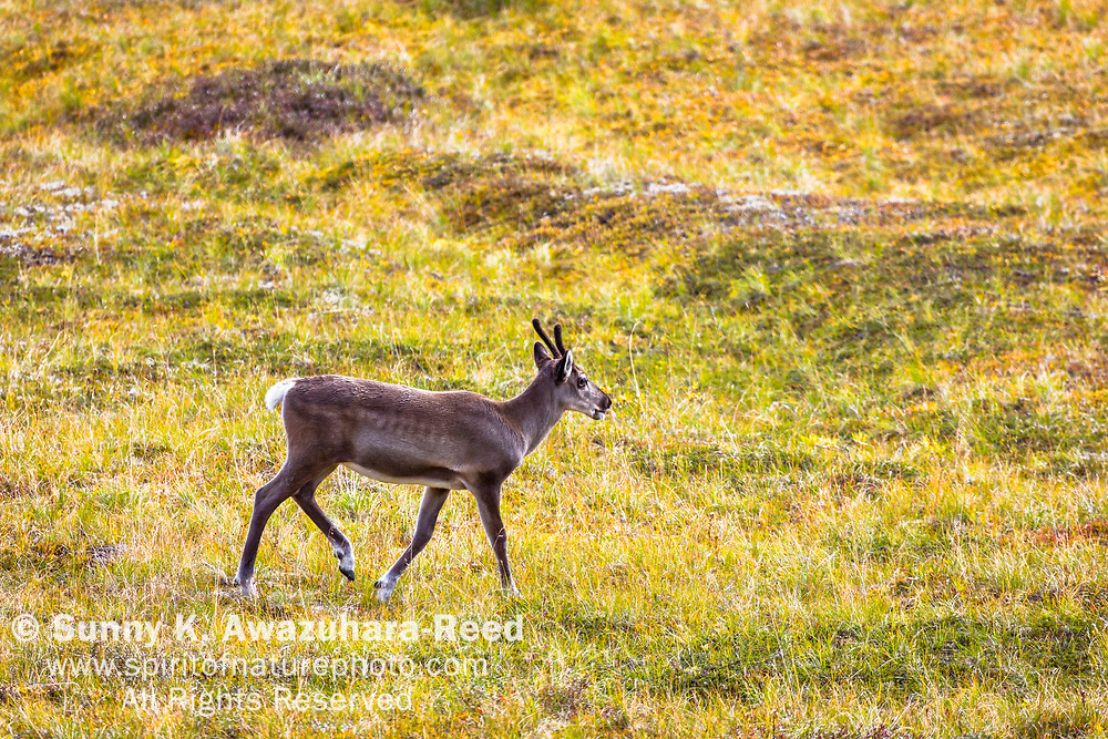 Young Caribou with velet antlers walking across fall color tundra, Denali National Park & Preserve, Interior Alaska, Autumn.