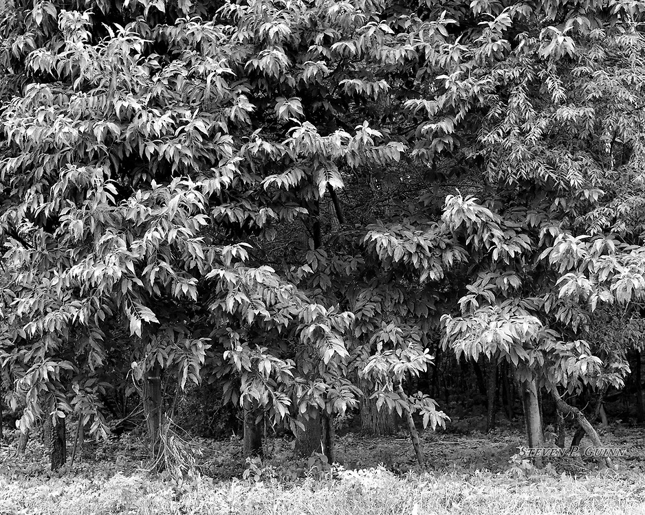 """I captured this nature portrait in Roselawn, Indiana on July 12th, 2017. While I was driving through Roselawn, Indiana, I came across this rare grove of chestnut trees off of a state road. I captured this image in black and white because it was overcast on this day and colors were very flat. I wanted to emphasize the leaves since the available light was making them brighter than in color, contrasting well with the shadows deeper in the forest. My favorite element about this scene is how the shadows in the forest add a sense of depth.<br /> <br /> Printed on Hahnemühle Torchon paper. Limited to 150 productions per size.<br /> <br /> Framed prints are available in 20"""" x 16"""", 30"""" x 24"""", 40"""" x 32"""", and 50"""" x 40"""" sizes."""