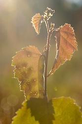 Zachte berk, Betula pubescens