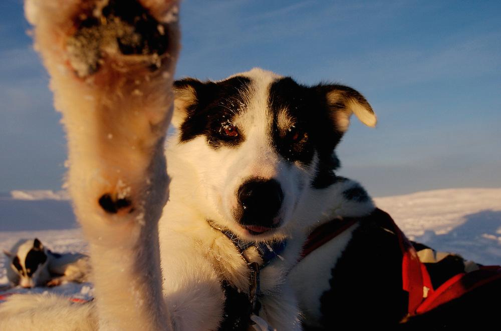 One of the dogs during a dog sledding tour with The Silent way, Vindelfjallen National Park, Vasterbotten, Lapland, Sweden. Ecotourism