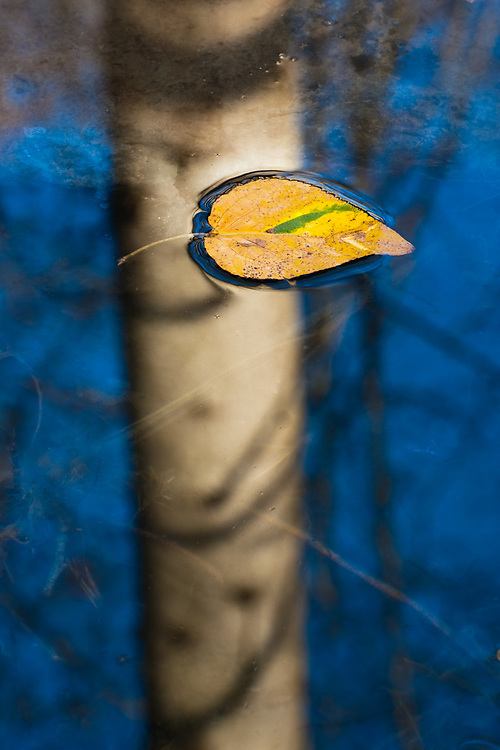 Cottonwood leaf (Populus trichocarpa), morning light, December, Elwha River Valley, Washington, USA