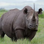 Black rhino, Lewa Wildlife Conservancy, Kenya