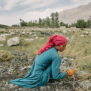 Woman cutting wheat by hand. <br /> The traditional life of the Wakhi people, in the Wakhan corridor, amongst the Pamir mountains.