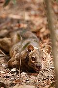 A Fossa on the jungle floor in the Kirindy Mitea National Park, Madagascar