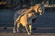 Löwen (Panthera leo) nach der Paarung im ersten Licht des Morgens, Tuli Block, Botswana<br /> <br /> Lions (Panthera leo) after mating in the first light of the morning, Tuli Block, Botswana