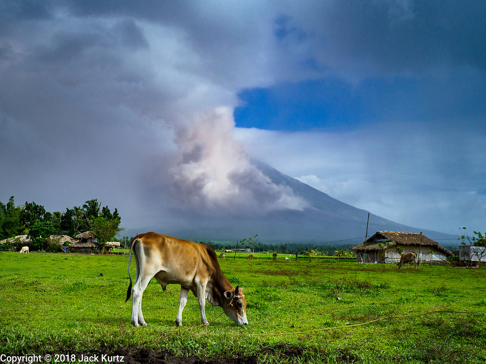 """22 JANUARY 2018 - CAMALIG, ALBAY, PHILIPPINES: A cow grazes about 10 kilometers from Mayon volcano while the volcano erupts. There were a series of eruptions on the Mayon volcano near Legazpi Monday. The eruptions started Sunday night and continued through the day. At about midday the volcano sent a plume of ash and smoke towering over Camalig, the largest municipality near the volcano. The Philippine Institute of Volcanology and Seismology (PHIVOLCS) extended the six kilometer danger zone to eight kilometers and raised the alert level from three to four. This is the first time the alert level has been at four since 2009. A level four alert means a """"Hazardous Eruption is Imminent"""" and there is """"intense unrest"""" in the volcano. The Mayon volcano is the most active volcano in the Philippines. Sunday and Monday's eruptions caused ash falls in several communities but there were no known injuries.    PHOTO BY JACK KURTZ"""