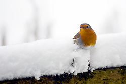 The UK's favourite bird, A Robin Red Breast (scientific name Erithacus rubecula) struggles to perch on a fence in the Snow during a particularly cold UK winter.<br />  <br /> 8 January 2010 Copyright Paul David Drabble