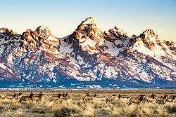 Migrating elk of Jackson Hole. Every spring thousands of elk migrate from the National Elk Refuge to Yellowstone, the Teton Range and the Gros Ventre Mountains, a few hundred of 6,000 remain in the valley.