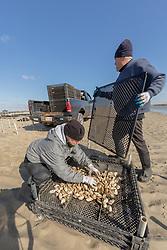 Lynne Fox & James Ward Sorting Oyster Trays