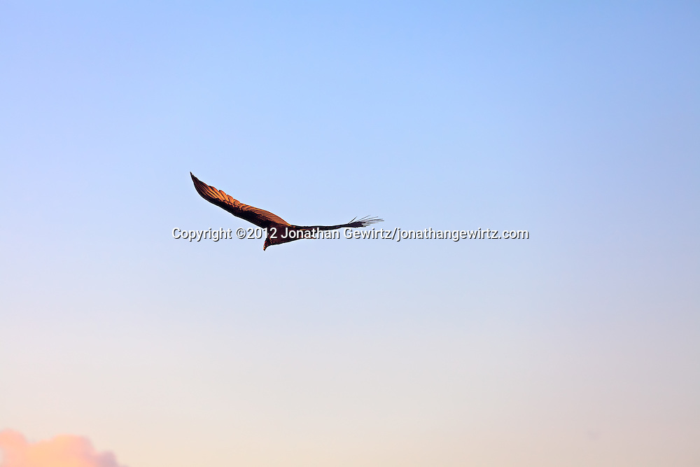 A Turkey Vulture (Cathartes aura) in flight, Florida. WATERMARKS WILL NOT APPEAR ON PRINTS OR LICENSED IMAGES.