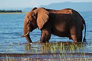 Young African Bush Elephant (Loxodonta africana) Photographed at Lake Kariba National Park, Zimbabwe