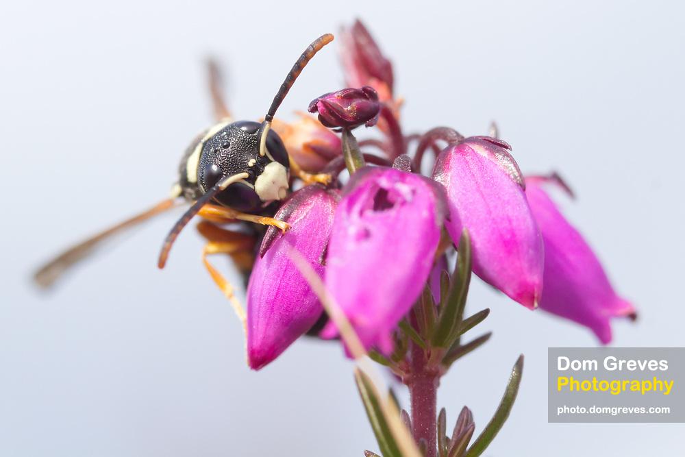 Purbeck mason wasp (pseudepipona herrichii) on bell heather. Dorset, UK.