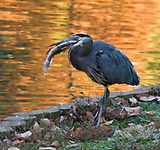 A Great Blue Heron eats a fish bigger than its own head, with a backdrop of orange autumn leaf colors reflected in a pond. Five miles of walks and pathways meander through landscaped and wooded areas at Sarah P. Duke Gardens at Duke University, Durham, North Carolina, USA. The gardens are divided into four parts, the Historic Core, the H.L Blomquist Garden of Native Plants, the Culberson Asiatic Arboretum and the Page White Garden. The gardens are a memorial to Sarah P. Duke, wife of Benjamin N. Duke, one of Duke University's benefactors. Address: Sarah P. Duke Gardens, .426 Anderson Street, Box 90341, Duke University, Durham, NC 27708-0341.