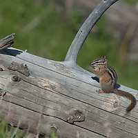 A chipmunk nibbles a seed atop a downed tree trunk in Yellowstone National Park, Wyoming.