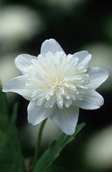 Anemone nemorosa 'Vestal'. Wood anemone