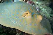 Bluespotted ribbontail stingray (Taeniura lymma) on coral reef. - Agincourt reef, Great Barrier Reef, Queensland, Australia. <br /> <br /> Editions:- Open Edition Print / Stock Image