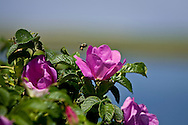 A bumblebee carries its load of pollen from one rugosa rose bloom to another.