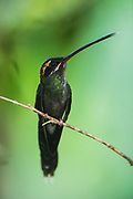 White-whiskered Hermit (Phaethornis yaruqui)<br /> Mindo<br /> Cloud Forest<br /> West slope of Andes<br /> ECUADOR.  South America<br /> RANGE: Colombia and Ecuador